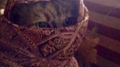 صورة قطة متخفية