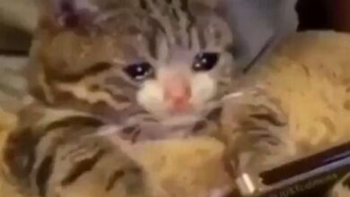 صورة قطة تبكي على الموبايل